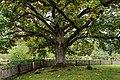 Пушкинский заповедник, Михайловское. Старый дуб рядом с домом Семена Гейченко.jpg