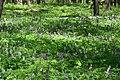 Теліженецький ліс Ряст DSC 0055.jpg