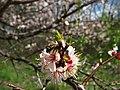Цветение садов в Святых горах.jpg
