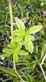 برگ به لیمو -Aloysia citrodora 04.jpg