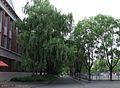 东北师大校园柳树 campus willows vista - panoramio.jpg