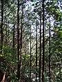 参道の杉 - panoramio.jpg