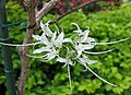 叉分羊蹄甲 Bauhinia divaricata -日本大阪鮮花競放館 Osaka Sakuya Konohana Kan, Japan- (27256743947).jpg