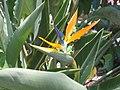 天堂鳥蕉(鶴望蘭) Strelitzia reginae -香港青衣公園 Tsing Yi Park, Hong Kong- (9252393333).jpg