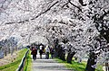 桜の回廊 Corridor of Cherry Blossoms - panoramio.jpg