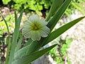 條紋庭菖蒲 Sisyrinchium striatum -維也納高山植物園 Belvedere Alpine Garden, Vienna- (28506092163).jpg