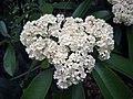 欏木石楠 Photinia davidsoniae -上海中山公園 Shanghai Zhongshan Park, China- (17315458316).jpg