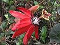 洋紅西番蓮(紅花西番蓮) Passiflora coccinea (Passiflora miniata) -香港迪欣湖 Inspiration Lake, Hong Kong- (9204833935).jpg