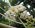 番木瓜-雄花 Carica papaya -香港動植物公園 Hong Kong Botanical Garden- (21259698012).jpg