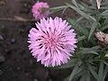 矢車菊 Centaurea cyanus -北京花卉大觀園 The World Flower Garden, Beijing- (9193430414).jpg
