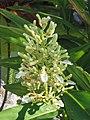 紅豆蔻 Alpinia galanga -香港荔枝角公園 Lai Chi Kok Park, Hong Kong- (9240230818).jpg