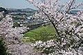 美加の台から南海高野線の列車を見る Cherry trees and Nankai Kōya line 2014.4.01 - panoramio.jpg