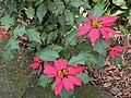 聖誕紅 Euphorbia pulcherrima - panoramio.jpg