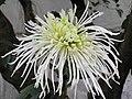 菊花-碧玉鉤 Chrysanthemum morifolium 'Greenish Jade Hook' -香港圓玄學院 Hong Kong Yuen Yuen Institute- (12026622373).jpg