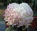 菊花-金背赤蟹 Chrysanthemum morifolium 'Golden-back Red Crab' -中山小欖菊花會 Xiaolan Chrysanthemum Show, China- (12099661666).jpg
