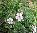 點地梅屬 Androsace himalaica -比利時 Ghent University Botanical Garden, Belgium- (9152018102).jpg