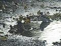 -2018-11-10 Sparrows bathing in a Pot-hole puddle, Trimingham (2).JPG