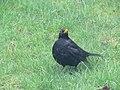 -2019-01-10 Male blackbird (Turdus merula), Trimingham, Norfolk (1).JPG