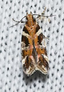 <i>Aristotelia</i> (moth) Genus of moths