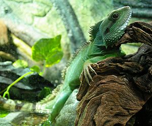 English: Chinese water dragon Polski: Agama błotna
