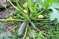 02014 Cucurbita pepo subsp. pepo convar. giromontiina.JPG