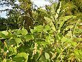 0809jfPaddy fields Grasslands Sumacab Sur Norte, Cabanatuan Cityfvf 14.jpg