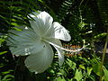 09335jfHibiscus cultivarfvf 14.JPG