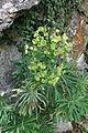 0 Euphorbia veneta - Samoëns.JPG