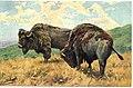1905-bisonti.jpg