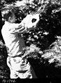 1958. W. Klein sampling spruce budworm population before spraying. Western spruce budworm control project. Baker unit, Oregon. (33051871941).jpg