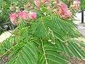 1 flores rosadas texas pink flower tree (7).jpg