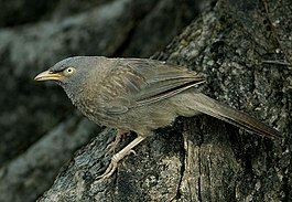 2005-jungle-babbler.jpg