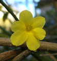 2006-11-16Jasminum nudiflorum07.jpg