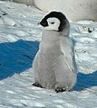 2007 Snow-Hill-Island Luyten-De-Hauwere-Emperor-Penguin-89.jpg