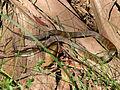 20091226 Tiger Snake (Modified).jpg