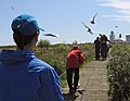 2009 07 02 - Arctic terns harassing visitors on Farne Islands.jpg