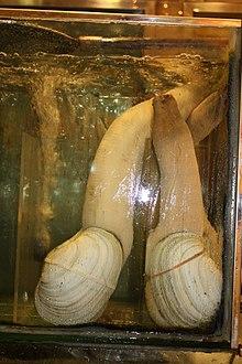 海鮮魚缸中的象拔蚌