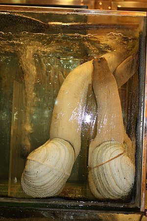 Geoduck aquaculture - Geoducks on display as seafood in a Chinese restaurant in Hong Kong