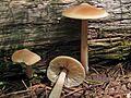 2010-08-07 Entoloma strictius 49884.jpg