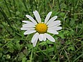 20120918Leucanthemum vulgare.jpg