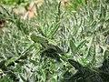 20130407Carduus acanthoides1.jpg
