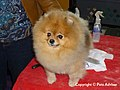 2013 Westminster Kennel Club Dog Show- Pomeranian (8466654876).jpg