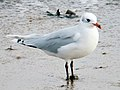 2014-02-09 Ichthyaetus melanocephalus 2nd-w, St Marys Island, Northumberland 1.jpg