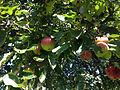 2014-08-29 13 50 33 Apples on an apple tree at the Pinelands Preservation Alliance headquarters in Southampton Township, New Jersey.JPG