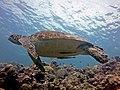 2014 11 Moalboal 54 grumpy turtle (16050145615).jpg