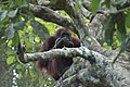 2014 Borneo Luyten-De-Hauwere-Bornean orangutan-16.jpg