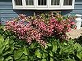 2015-05-17 14 29 45 Hostas and Rosebud Azalea in bloom on Terrace Boulevard in Ewing, New Jersey.jpg