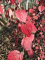 2015-11-15 09 30 59 Arrowwood foliage during autumn in the woodlands along the West Branch Shabakunk Creek in Ewing, New Jersey.jpg