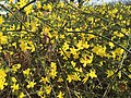 2015-12-27 13 56 24 Winter Jasmine blooming at the Franklin Farm Shopping Center in the Franklin Farm section of Oak Hill, Fairfax County, Virginia.jpg