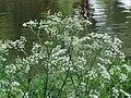 20150502Chaerophyllum temulum2.jpg